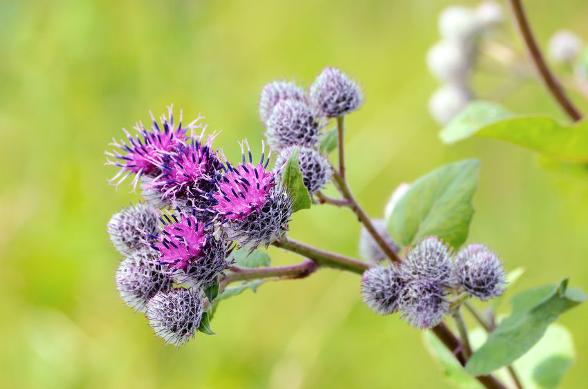 23774703 - flowering great burdock (arctium lappa), close up view